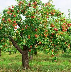 پرورش و هرس درخت سیب