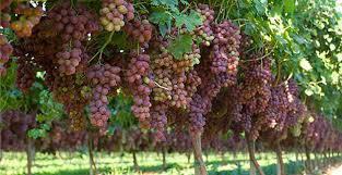 پرورش و هرس درخت انگور