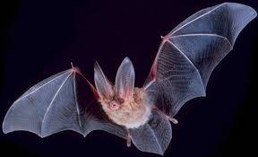 تحقیق خفاش