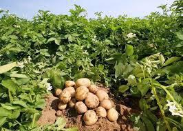 تحقیق بررسی تاثیر عوامل مختلف کشت  سیب زمینی در غرب اصفهان