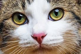 تحقیق جذب نور در تاريكي با الگو از چشم گربه