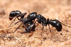 تحقیق مورچهها (مورچههاي سياه آتشين)