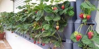 تحقیق راهنماي پرورش توت فرنگي (بخش اول)