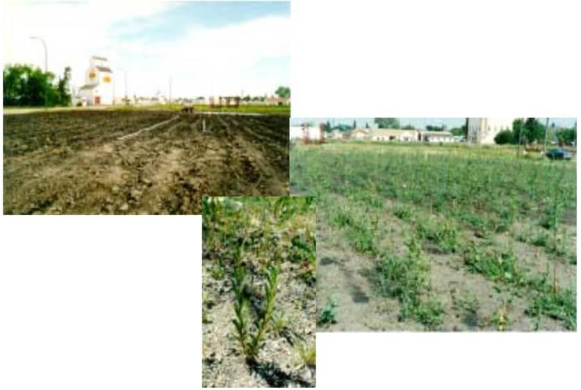 گیاه پالایی در رفع آلودگی خاک